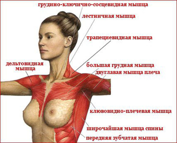 Упругая грудь